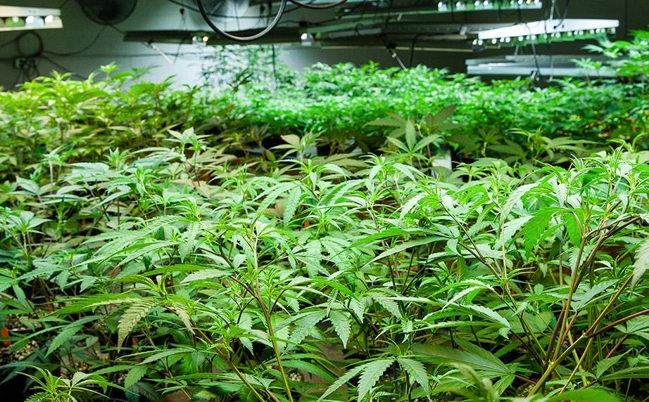 marijuana plants under grow lights